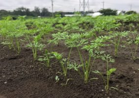 土壌消毒や農薬を使わずに育てます。